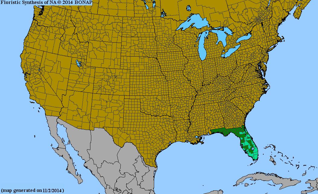 Spermacoce verticillata - Species Page - ISB: Atlas of Florida Plants